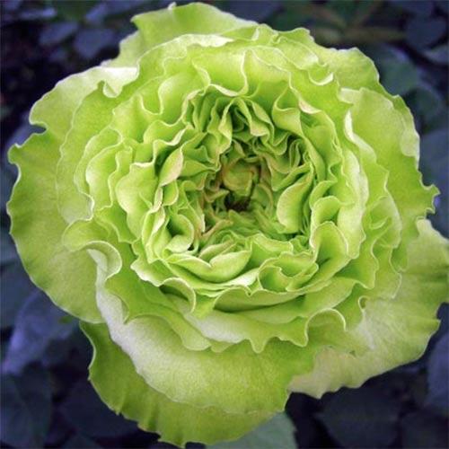 Роза Супер Грин 2