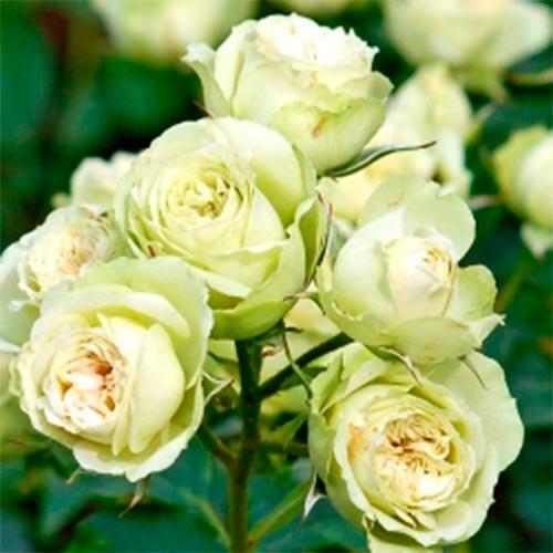 Роза Супер Грин 4