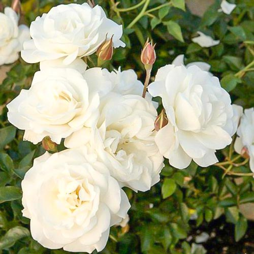 Роза Уайт Диадем 1