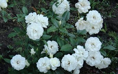 Роза Уайт Диадем 2