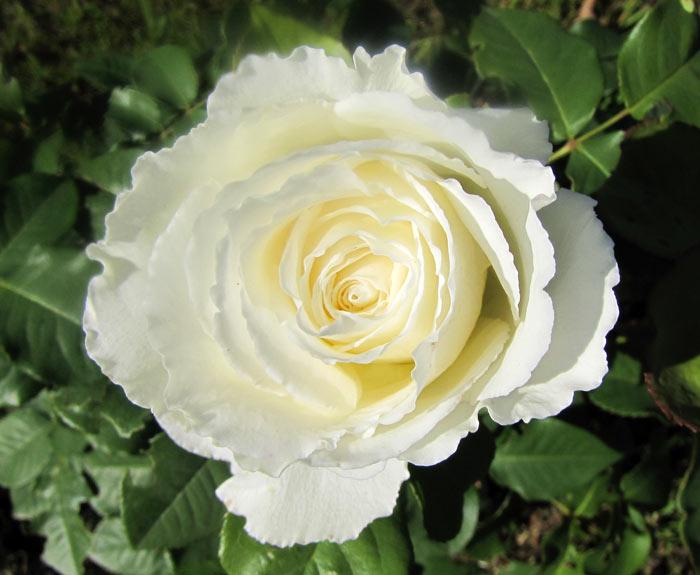 Роза Уайт Диадем 4