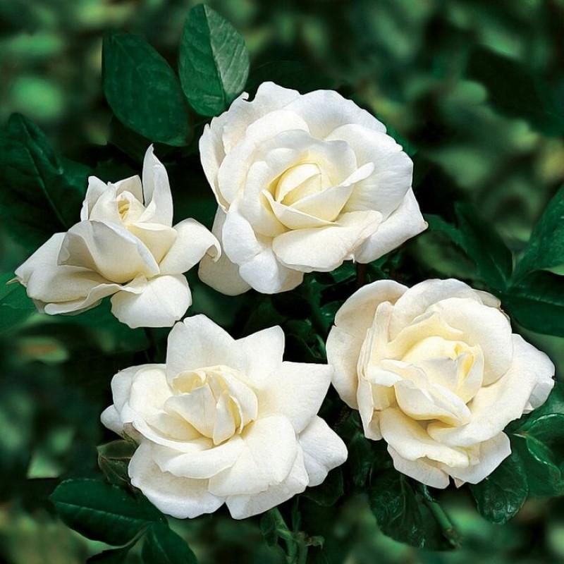 Роза Уайт Диадем 3