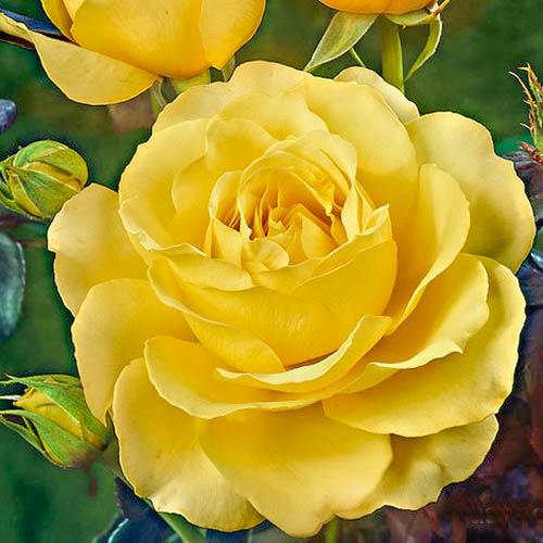 Роза Казанова изображение 1