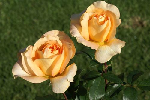 Роза Казанова 2