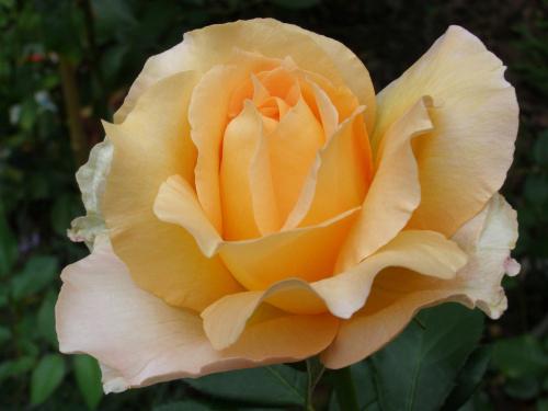 Роза Казанова 3