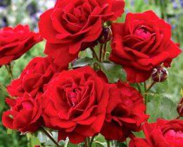Роза Ред Диадем