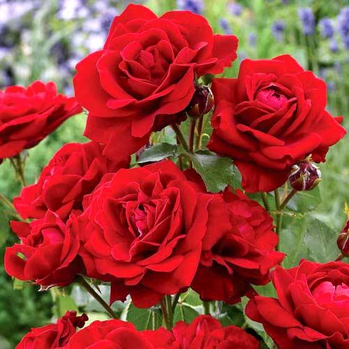 Роза Ред Диадем изображение 1