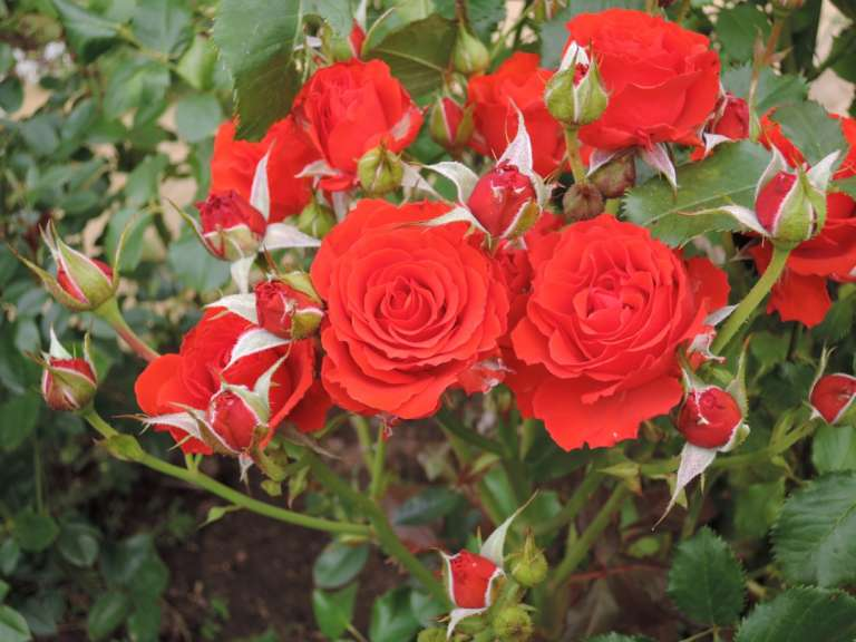 Роза Ред Диадем изображение 2