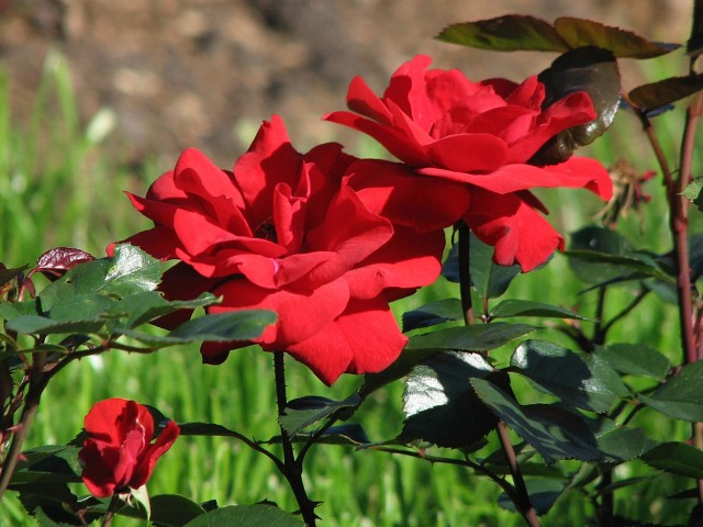 Роза Ред Диадем изображение 4