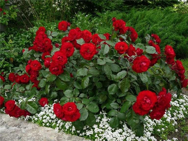 Роза Ред Диадем изображение 3