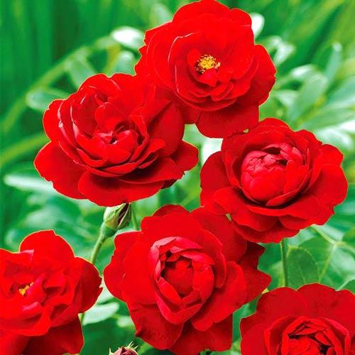 Роза Лили Марлен изображение 1