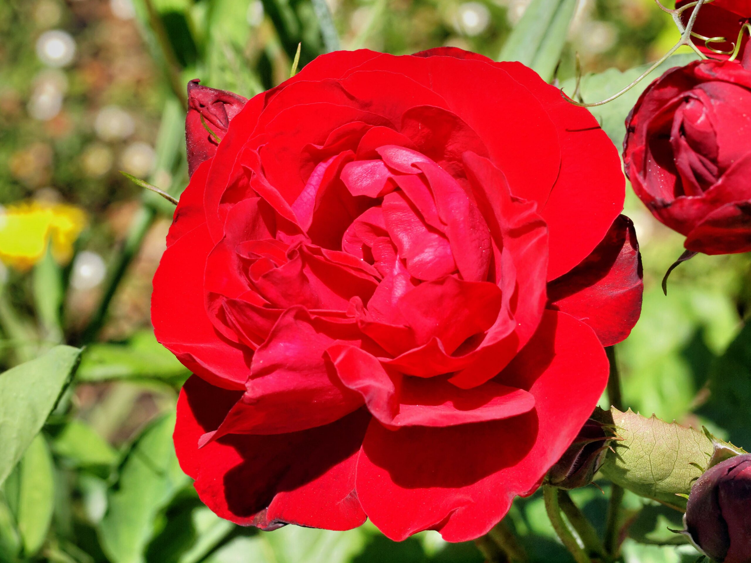 Роза Лили Марлен изображение 2