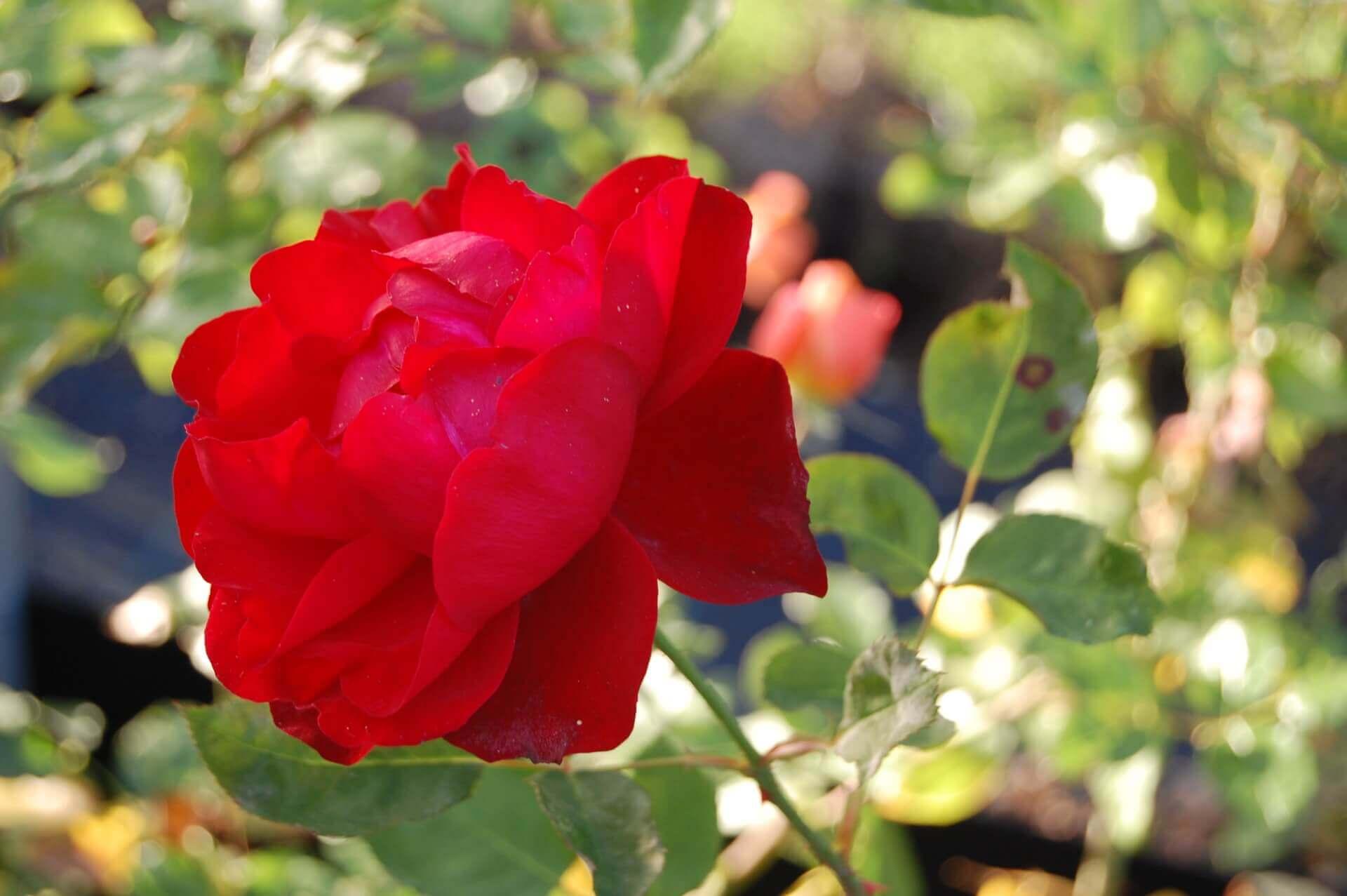 Роза Лили Марлен изображение 3