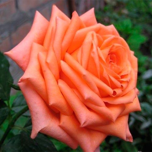 Роза Эльдорадо 2