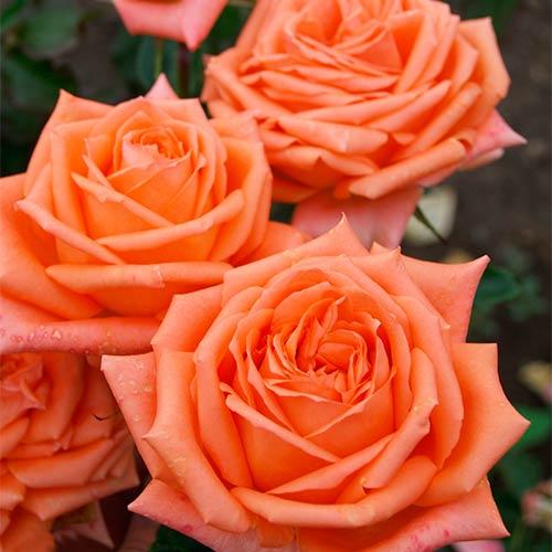 Роза Эльдорадо 1