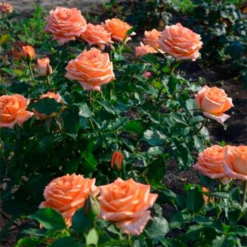 Роза Эльдорадо 4