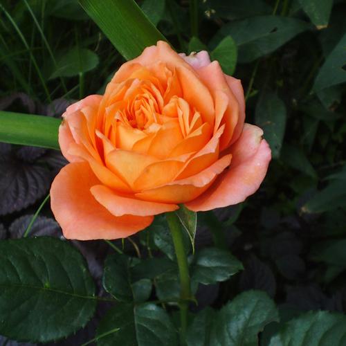 Роза Эльдорадо 3