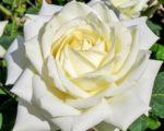 Роза Полярная звезда