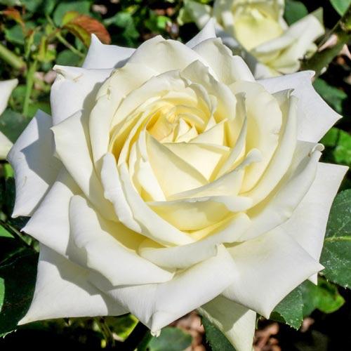 Роза Полярная звезда 1