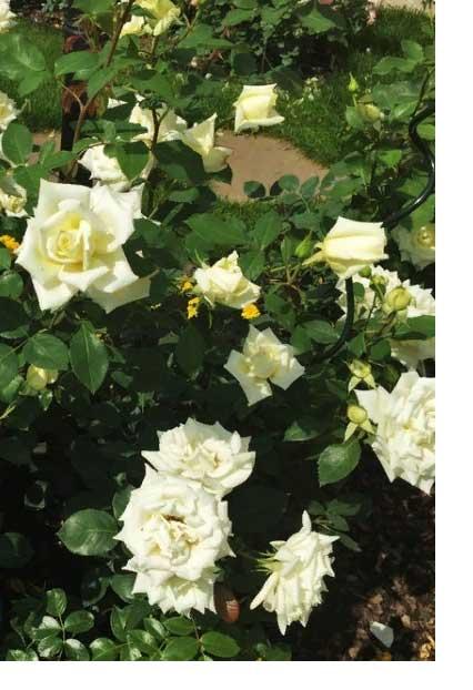 Роза Полярная звезда 2