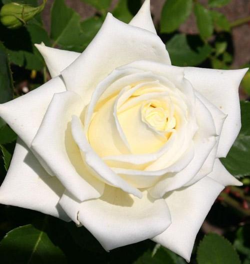 Роза Полярная звезда 3
