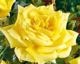 Роза Ландора