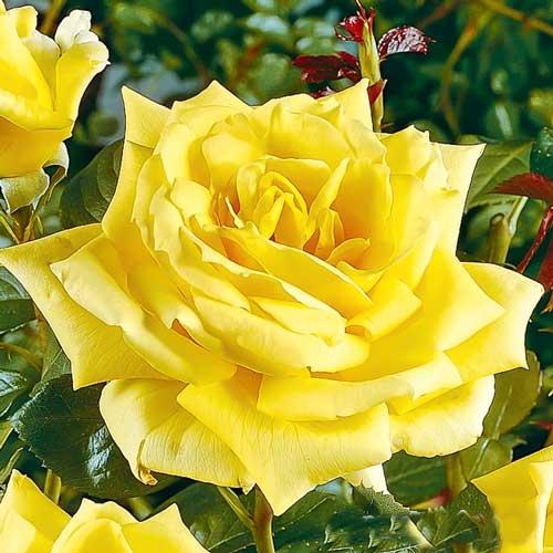 Роза Ландора изображение 1