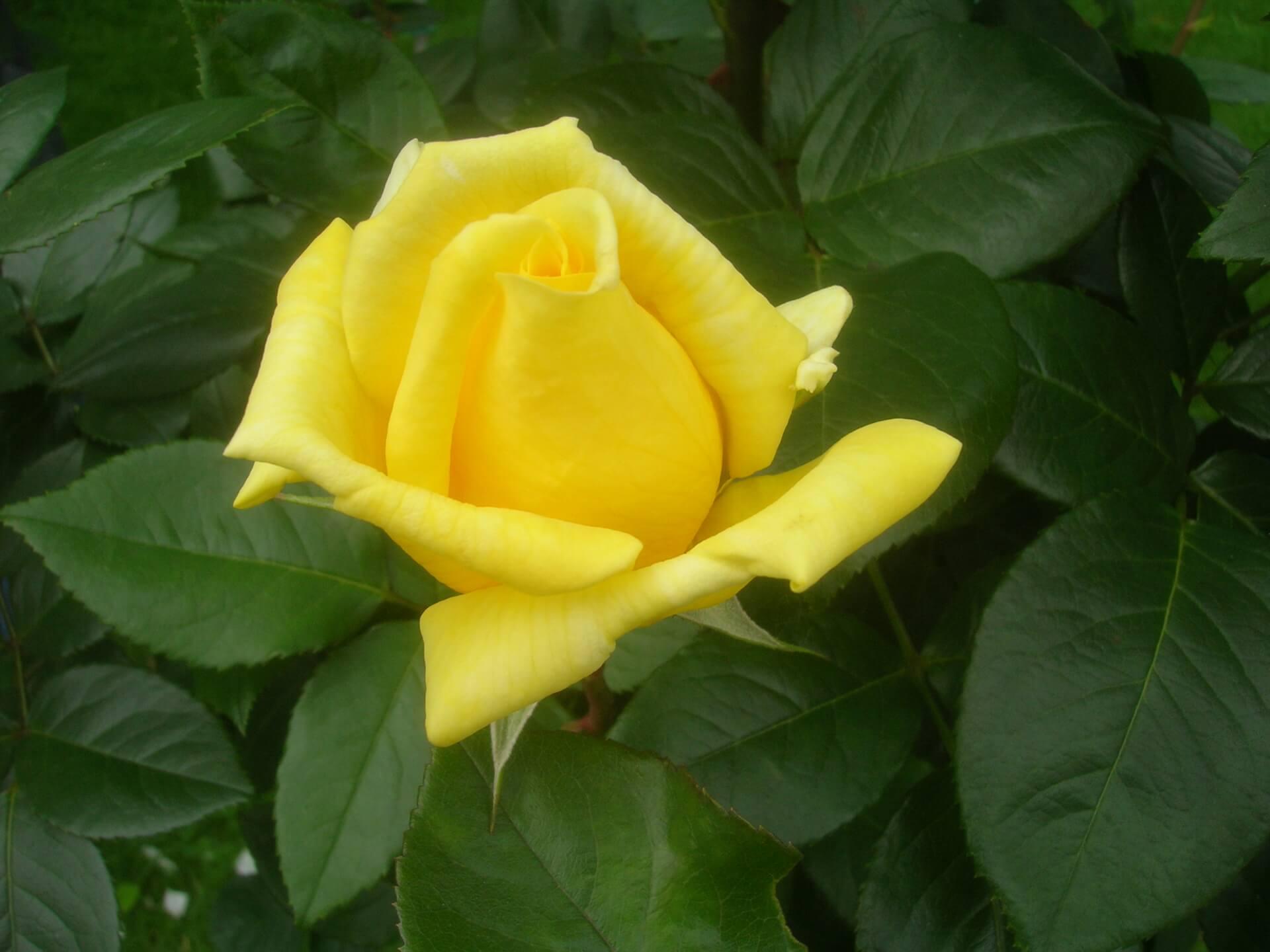 Роза Ландора изображение 2