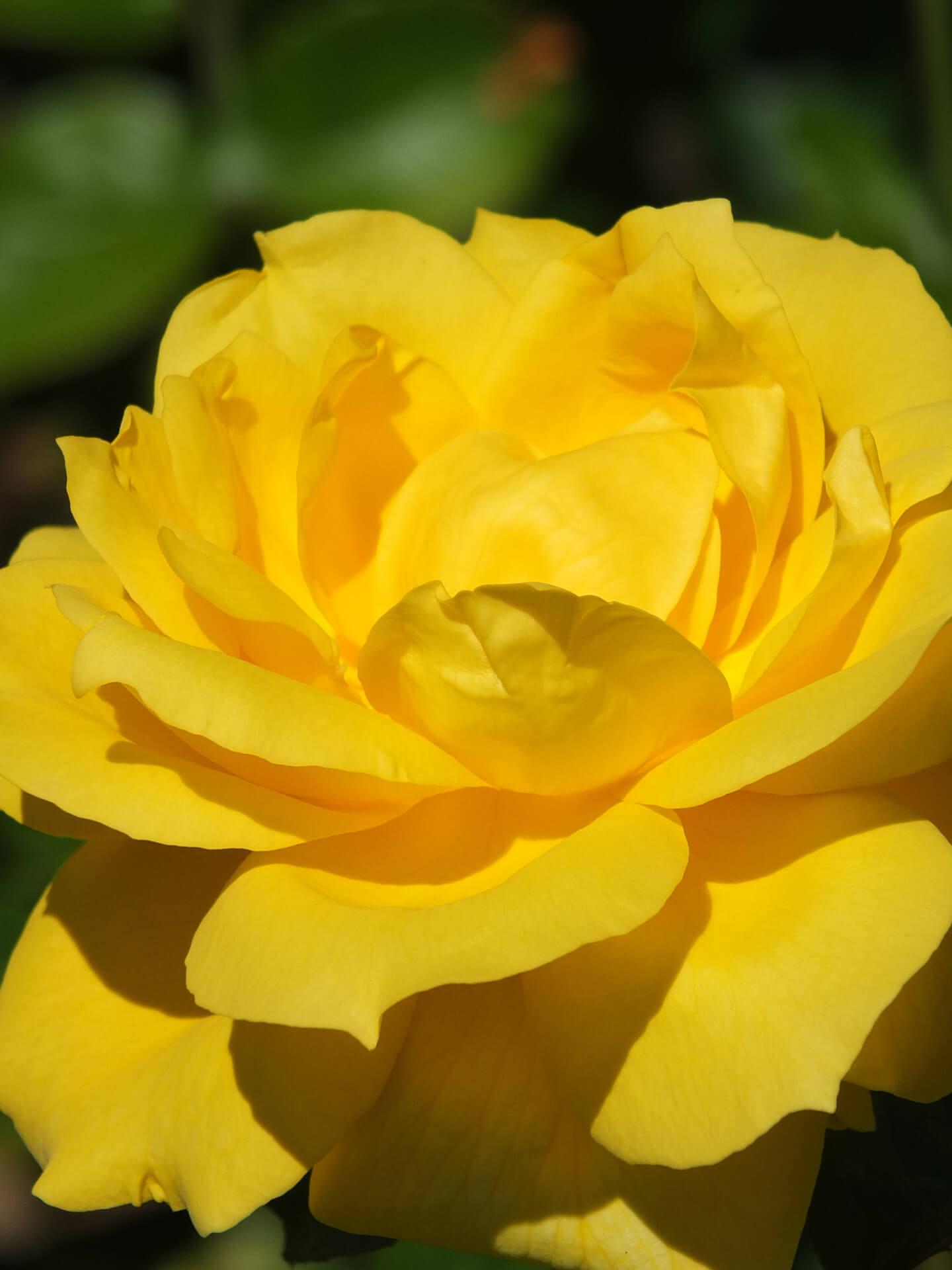 Роза Ландора изображение 4