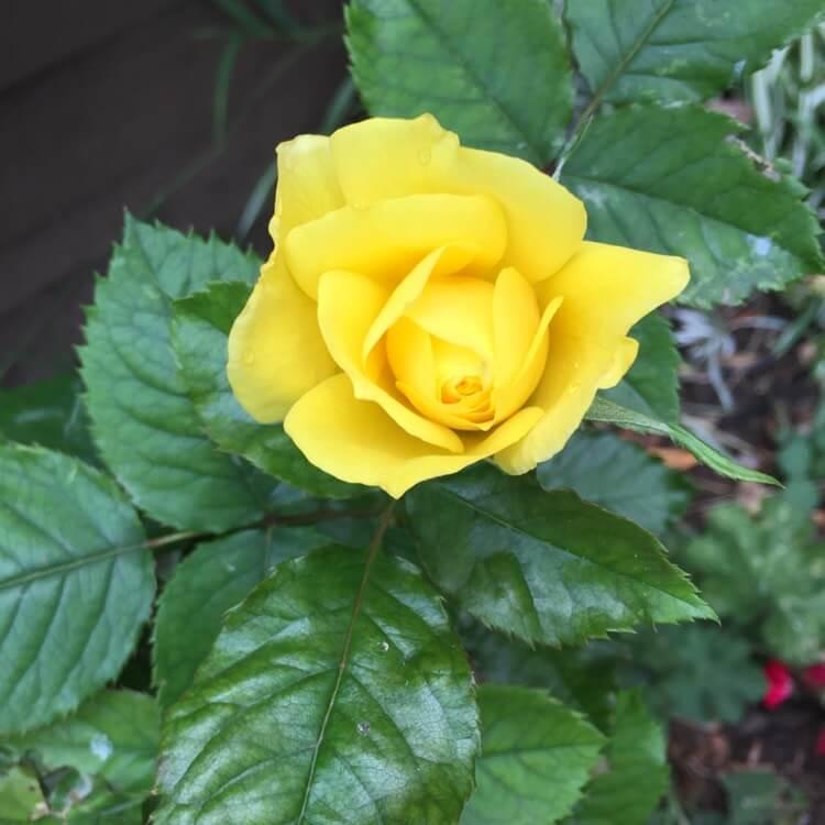 Роза Ландора изображение 3