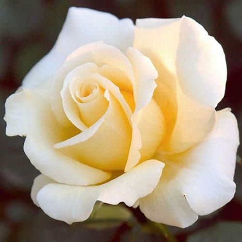 Роза Элина изображение 1