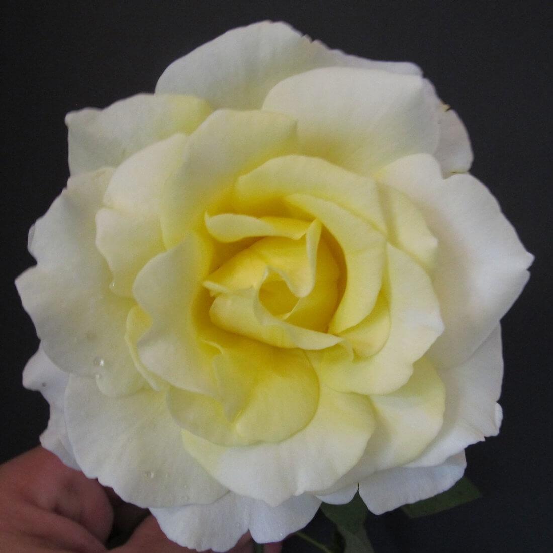Роза Элина изображение 2