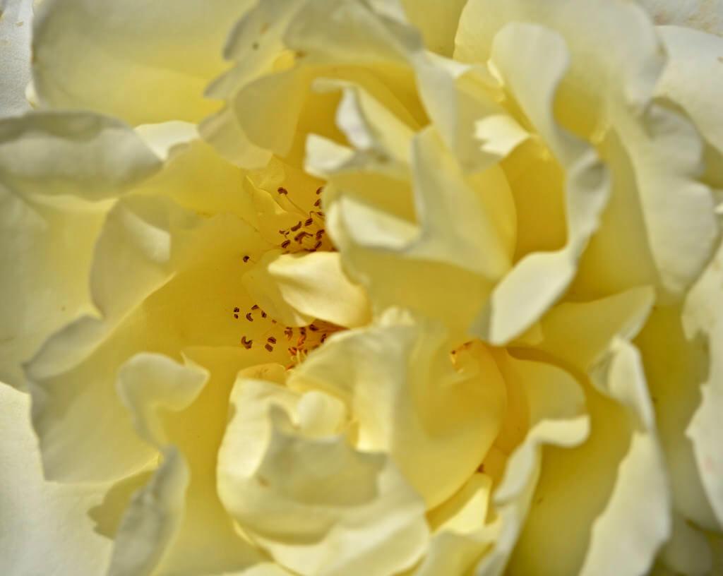 Роза Элина изображение 3