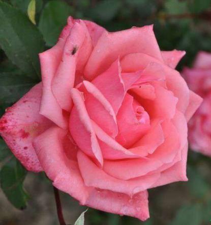 Роза Бель Анж изображение 1