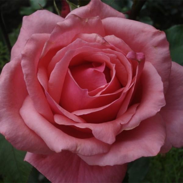 Роза Бель Анж изображение 4