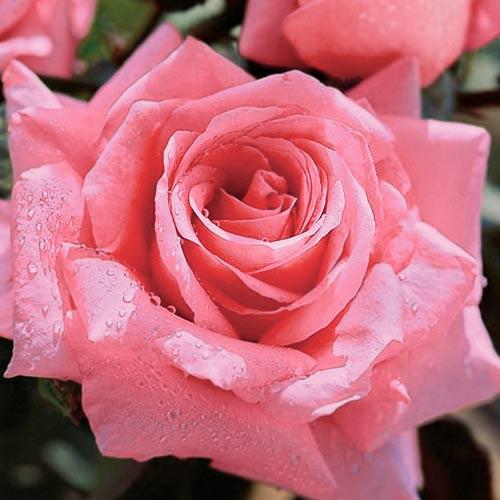 Роза Бель Анж изображение 3
