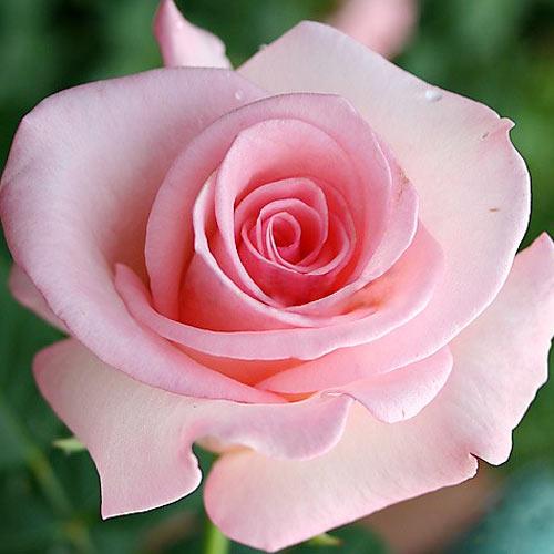 Роза Фламинго 1