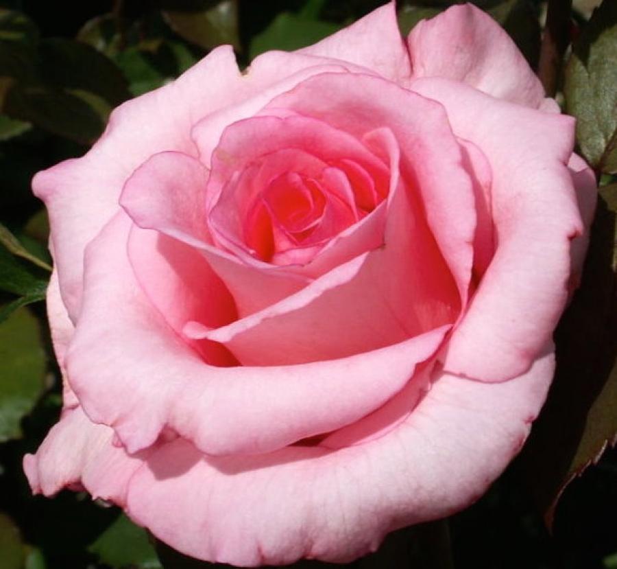 Роза Фламинго 2