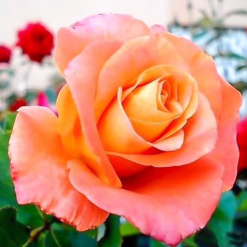 Роза Экзотика изображение 1
