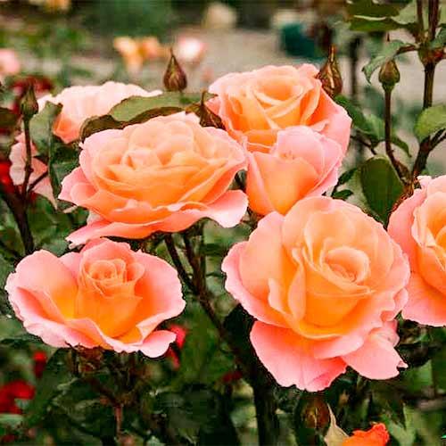 Роза Экзотика изображение 2
