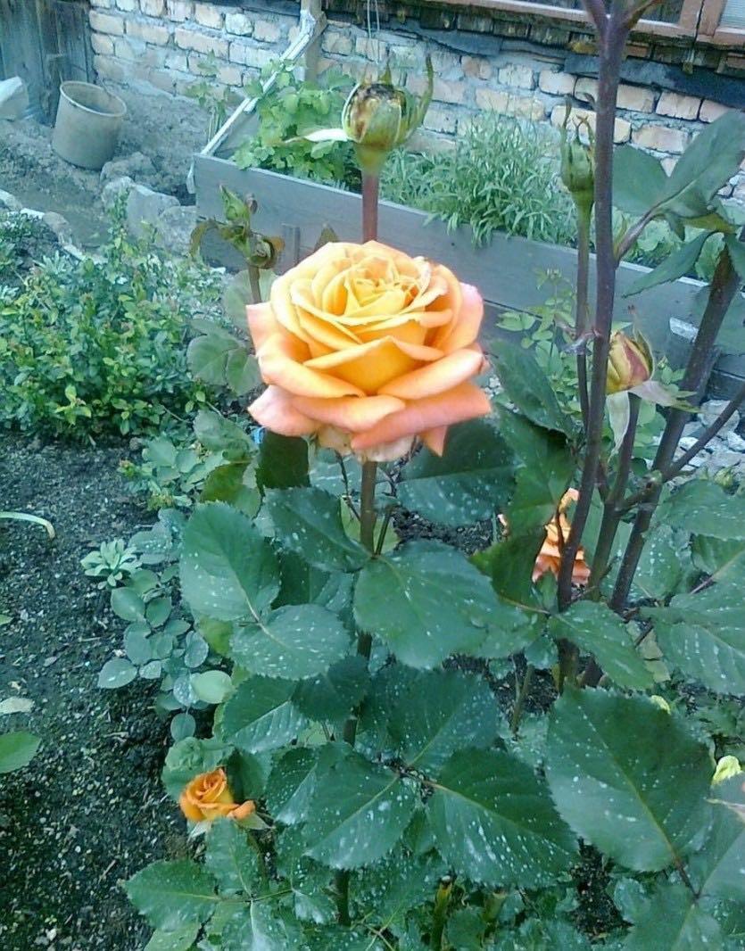 Роза Экзотика изображение 3