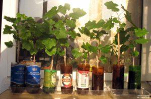 Правила выращивания саженцев винограда для начинающих садоводов