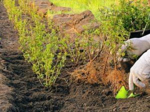 Посадка смородины весной – нюансы и рекомендации
