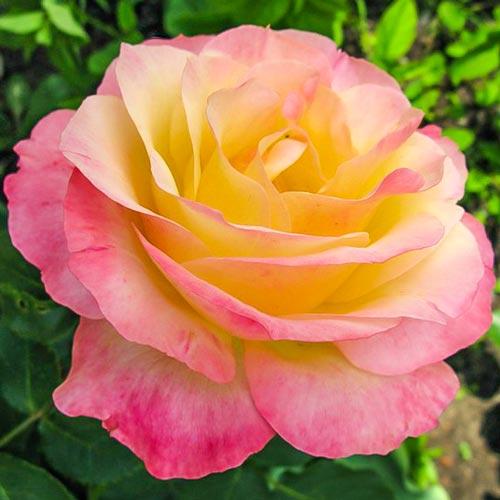 Роза Глория Дей 1
