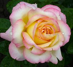 Роза Глория Дей 2