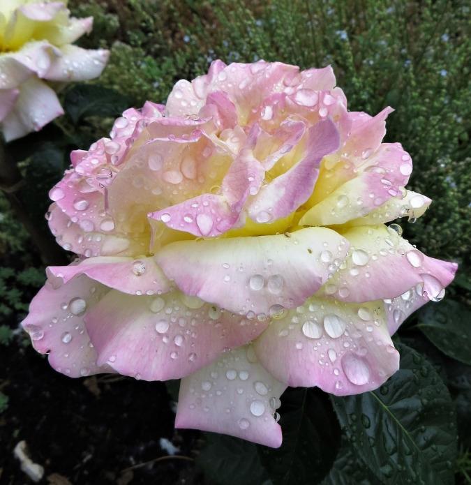Роза Глория Дей 4
