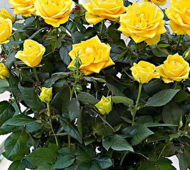 Роза Йеллоу Стар 1