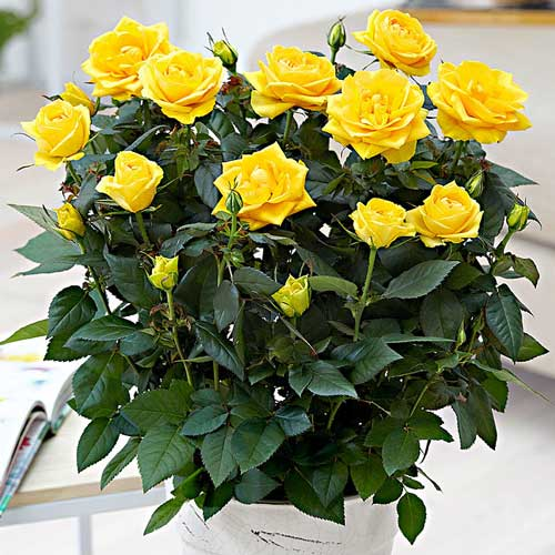 Роза Йеллоу Стар изображение 1
