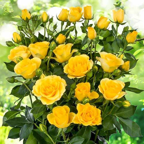 Роза Йеллоу Стар изображение 2