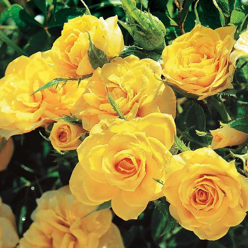 Роза Йеллоу Стар изображение 3